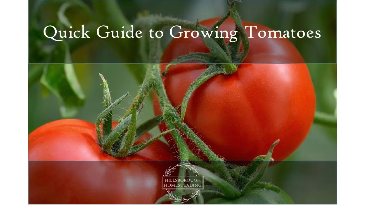 Quick Guide to Growing Tomatoes