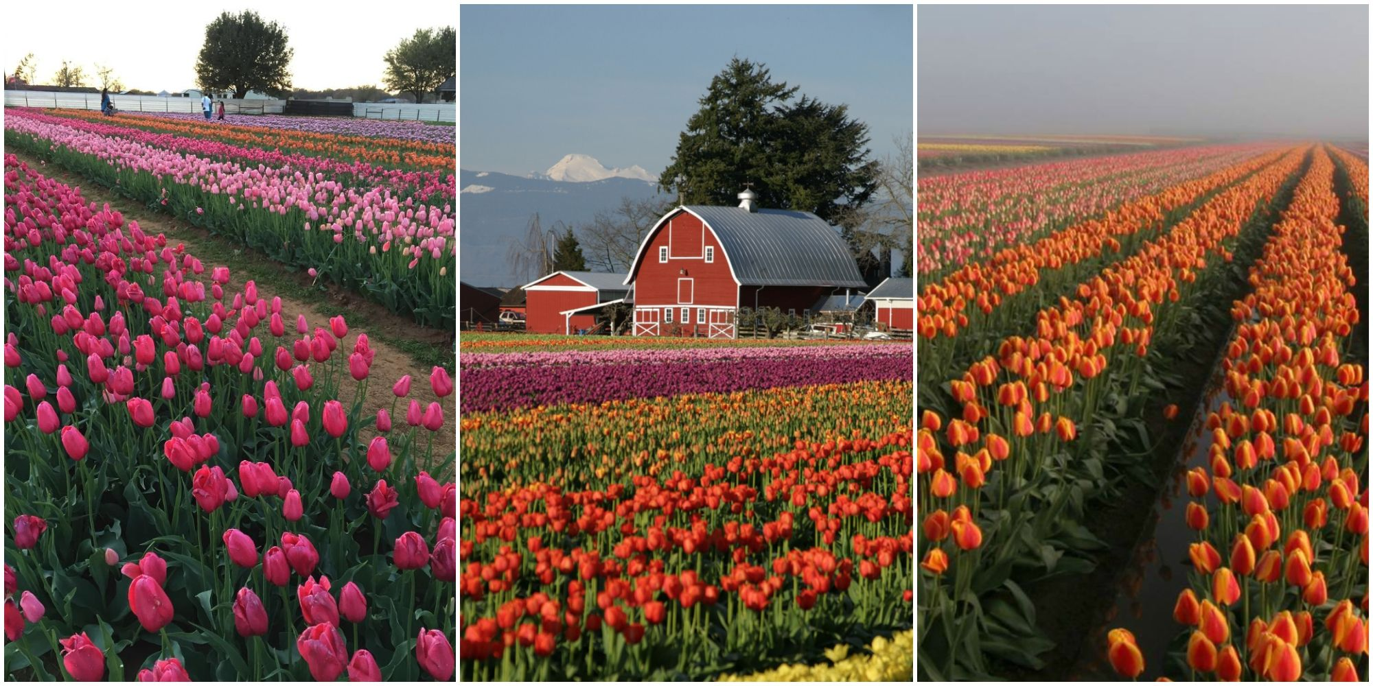 Favorite America How To Visit Tulip Farms Holland Bulb Farms Coupon Holland Bulb Farms Reviews Tulip Farms To Visit houzz-03 Holland Bulb Farms