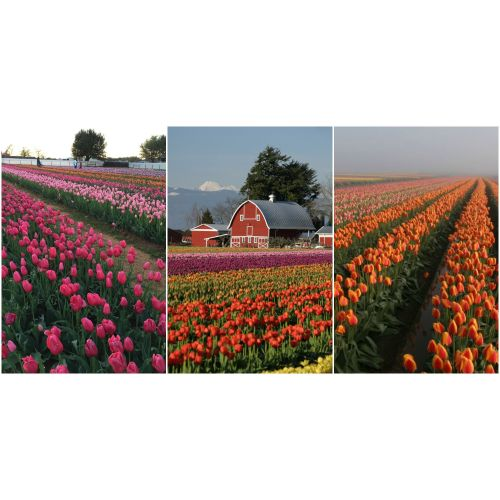 Medium Crop Of Holland Bulb Farms