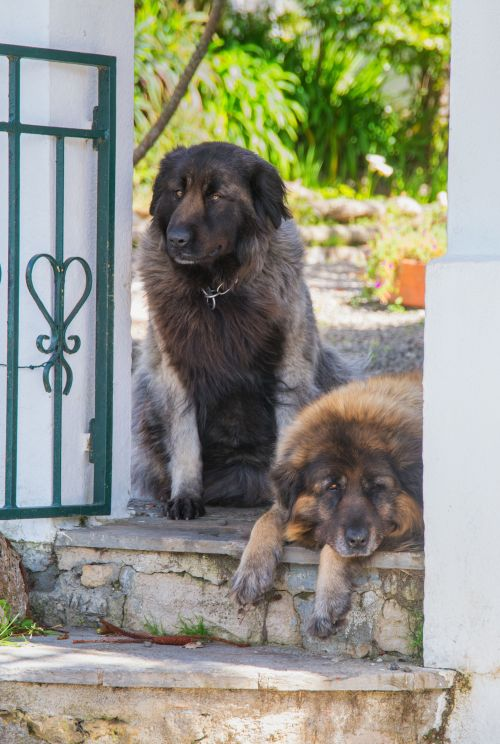 Medium Of Most Protective Dogs