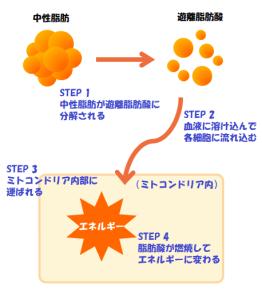 脂肪酸燃焼