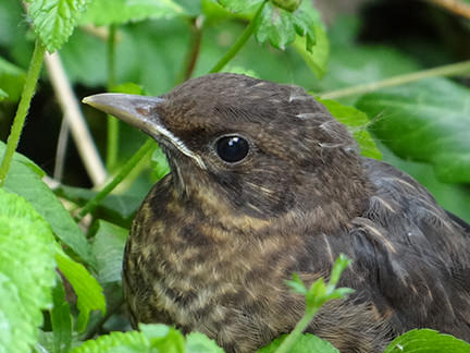 detail of baby blackbird in foliage