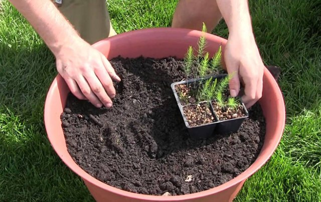 Growing asparagus in a pot