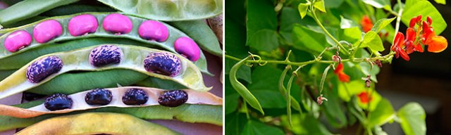 Phaseolus coccineus - Scarlet runner beans