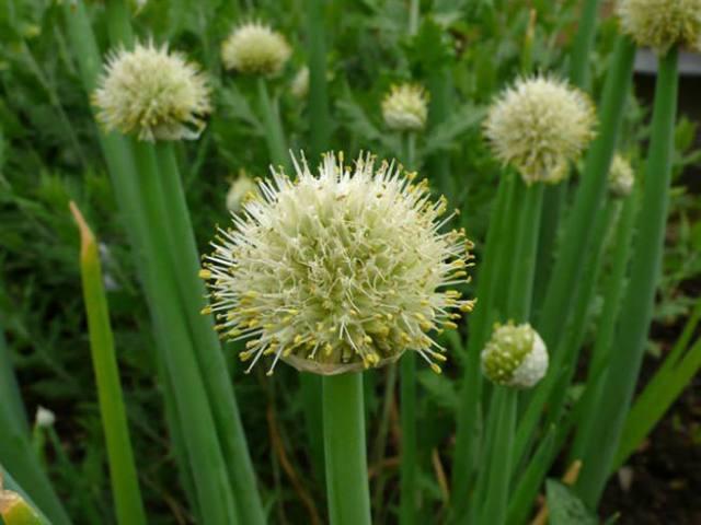 Allium fistulosum - Welsh onion