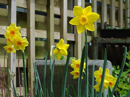 Daffodils flowering in mid-April