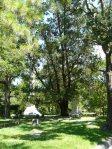 Glenwood Cemetery, Eastern Red Cedar
