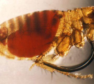 Rattenvlo. Als de bla bloed heeft opgezogen van een besmette rat kan deze de pestbacterie (Yersinia pestis) na het bijten van een mens doorgegeven. - cc