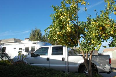 dsc_0373-loaded-lemon-tree.jpg
