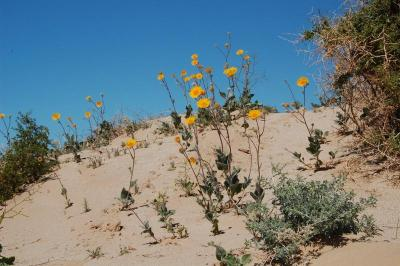 dsc_0151-desert-sunflower.jpg