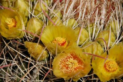 dsc_0049-barrel-cactus-flower.jpg