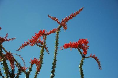 dsc_0019-ocotillo-points-of-flame.jpg