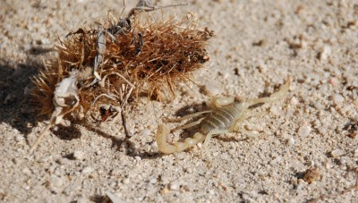 DSC_0075 Anza-Borrego Hairy Scorpion