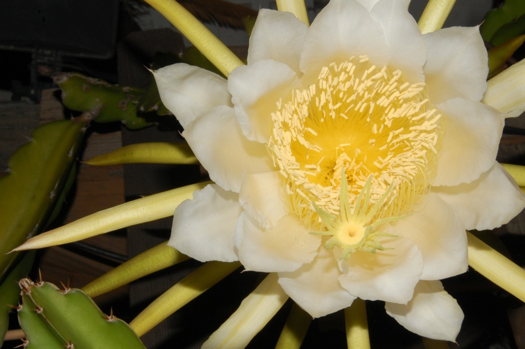 DSC_0025 Pitahaya bloom 2015