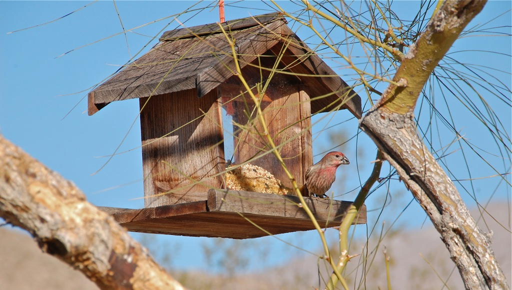 DSC_0115 House finch & rustic feeder