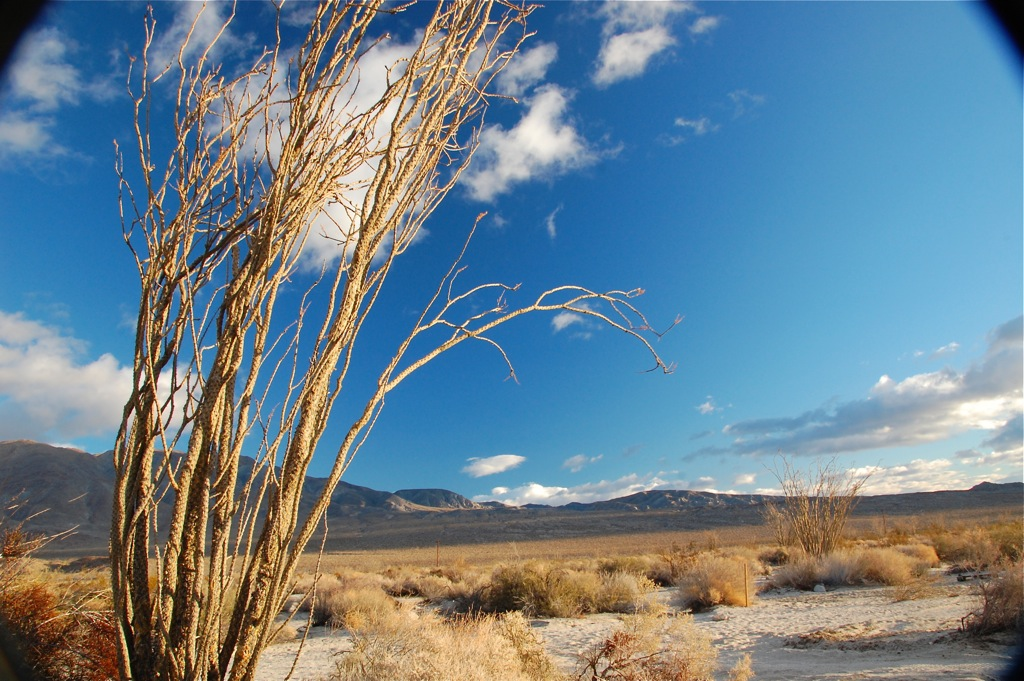 dsc_0184-arching-ocotillo