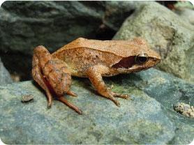 カエルのニュース