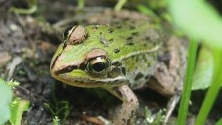 トノサマガエルについて ~カエルから考える自然保護~