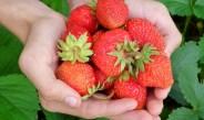 Så er det sidste udkald for danske jordbær