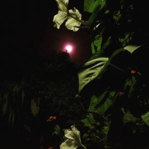 Bright Pluto fullmoon with moonflowers basking in her beauty Watchhellip
