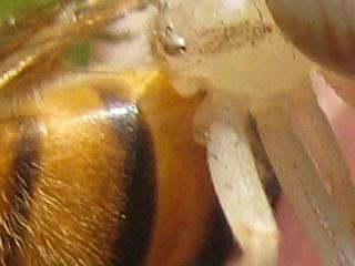 Aranha segurando abelha (100%)