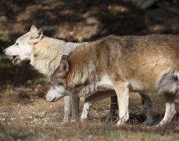 """""""Ulven kommer!"""" – om naturen som en fælles demokratisk udfordring."""