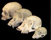 Menneskedyret homo sapiens