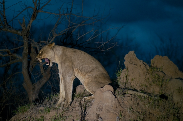 A female lion stretching before setting off on the hunt. (Photo: National Geographic/ Jeandre Gerding)
