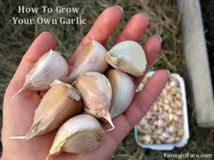 how-to-grow-your-own-garlic