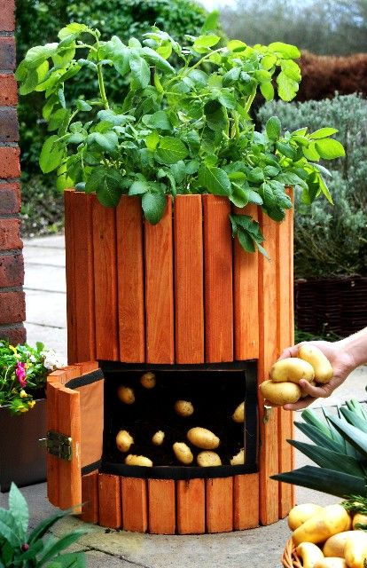 growing potato in a barrel