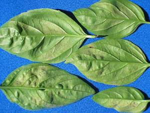 Downy Mildew on Basil