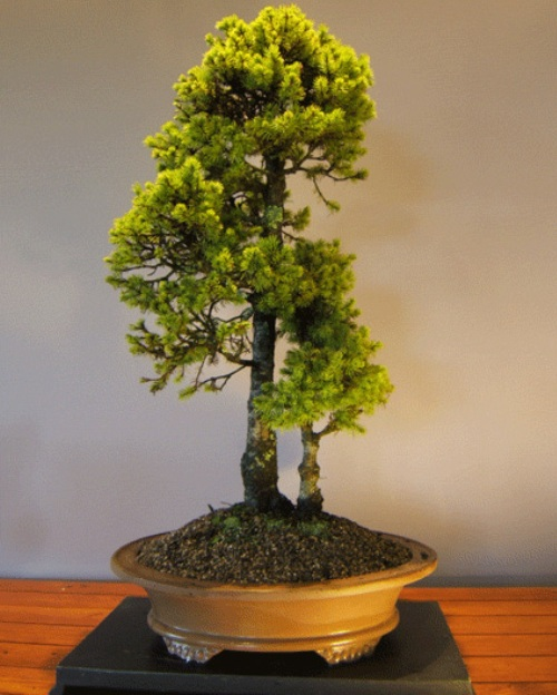 The most beautiful and unique bonsai trees in the world for Cool bonsai tree