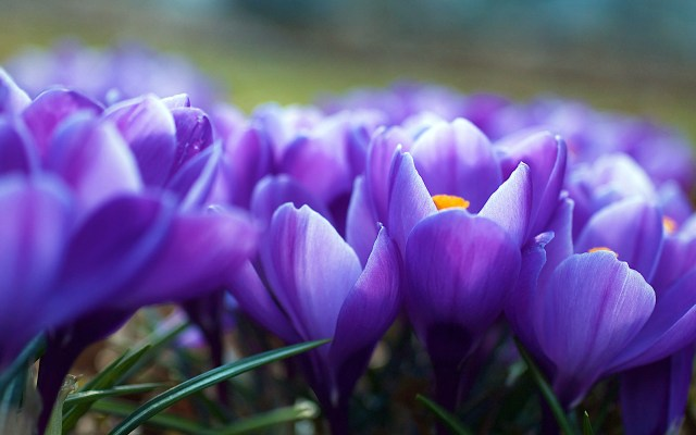 crocus_flowers-wide