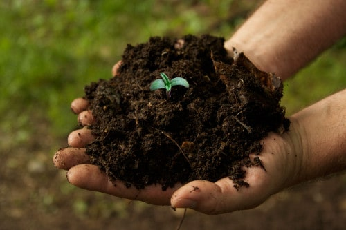 marijuana seedling