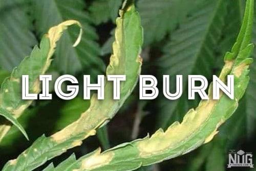 marijuana light burn
