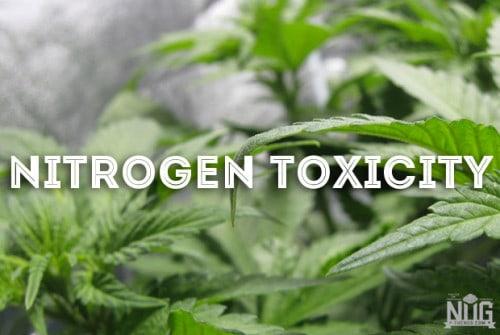 marijuana nitrogen toxicity