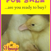 Pekin Ducks for Sale.  Are YOU Ready?
