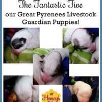 Meet our Great Pyrenees Livestock Guardian Puppies!