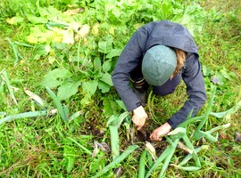 harvesting leeks by hand