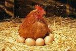 hen-eggs
