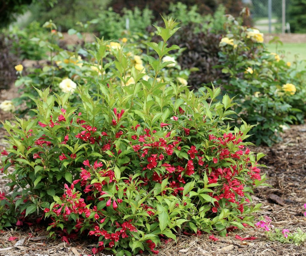 Fulgurant Gardens Hoosier Spilled Wine Weigela Height Spilled Wine Weigela Reviews One All Photo Weigela Is Ready To Bloom Sonic Bloom Red Weigela Blooms Off Bloom houzz 01 Spilled Wine Weigela