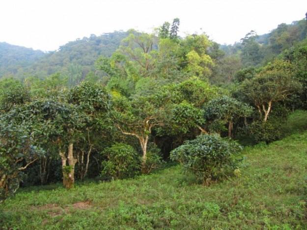 old tea tree gardens in Naka, Jinghong Mengsong