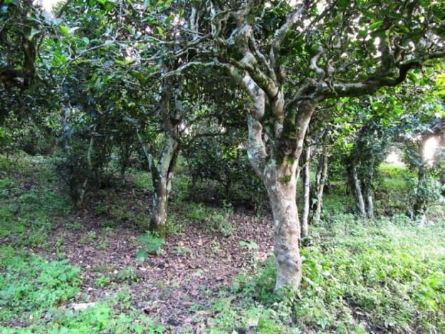 ancient tea tree in Naka
