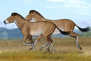 Two cursorial Zanda horses running in their open steppe habitat of the Tibetan Plateau