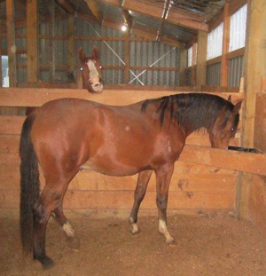 Is the increased colic risk in stabled horses a result of not drinking enough?