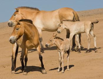 Przewalski's horse foals at San Diego Zoo.