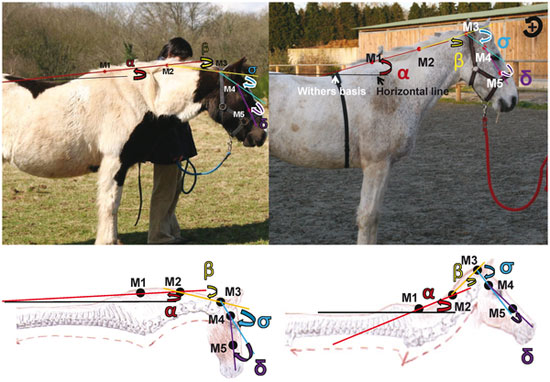 Representation of angles for neck posture measurement (Horse kept under natural conditions on the left and riding school horse on the right).  α represents the neck's elevation, β represents the neck's curve and γ represent the M3–M5 angle (head-neck angle).