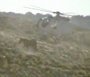 A wild horse being herded by helicopter. Laura Leigh