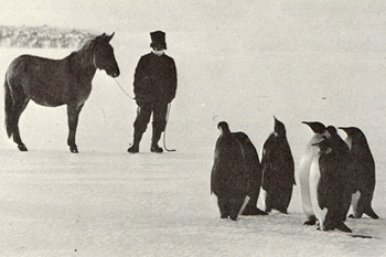 An Indian mule and Emperor Penguins meet in Antarctica. England also sent Indian mules, which had been trained in the Himalayas, to Antarctica. The mules pulled the sleds of the rescue party that found Captain Scott after he disappeared returning from the South Pole.