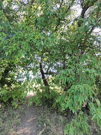 Box elder tree